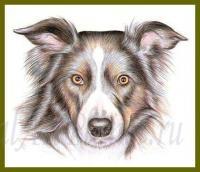 Фото собаку Бордер-колли цветными карандашами