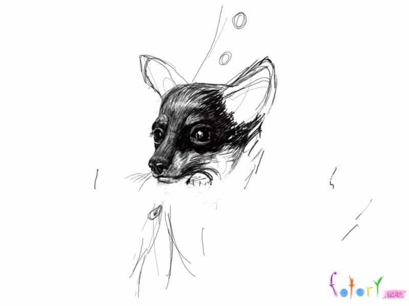 Рисуем собаку чихуахуа в кармане - шаг 4