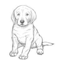 Как нарисовать щенка лабрадора карандашом поэтапно