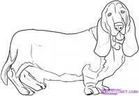 Фото собаку породы Бассет-хаунд карандашом