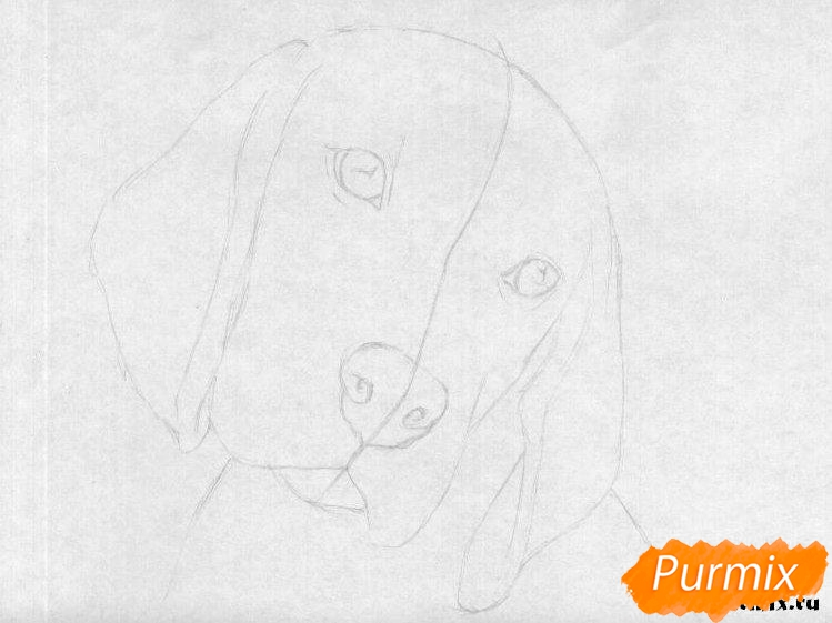 Рисуем собаку породы бигль  и ручкой - шаг 1