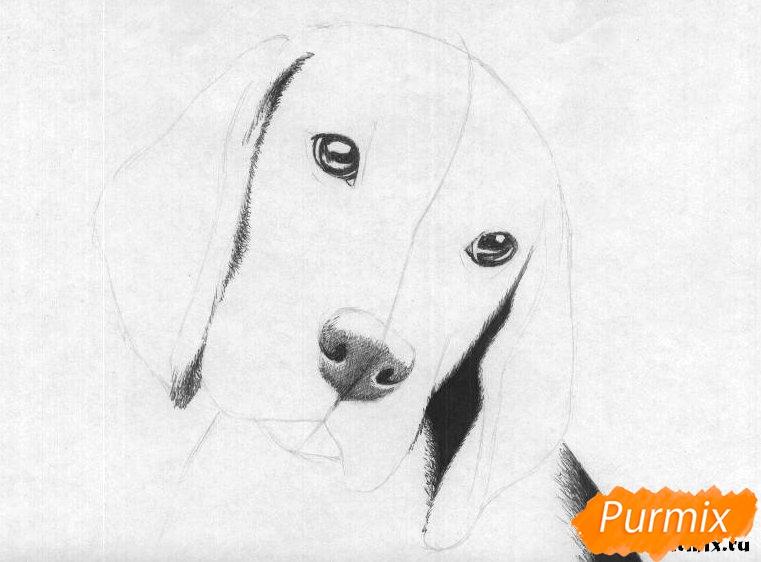 Рисуем собаку породы бигль  и ручкой - шаг 2