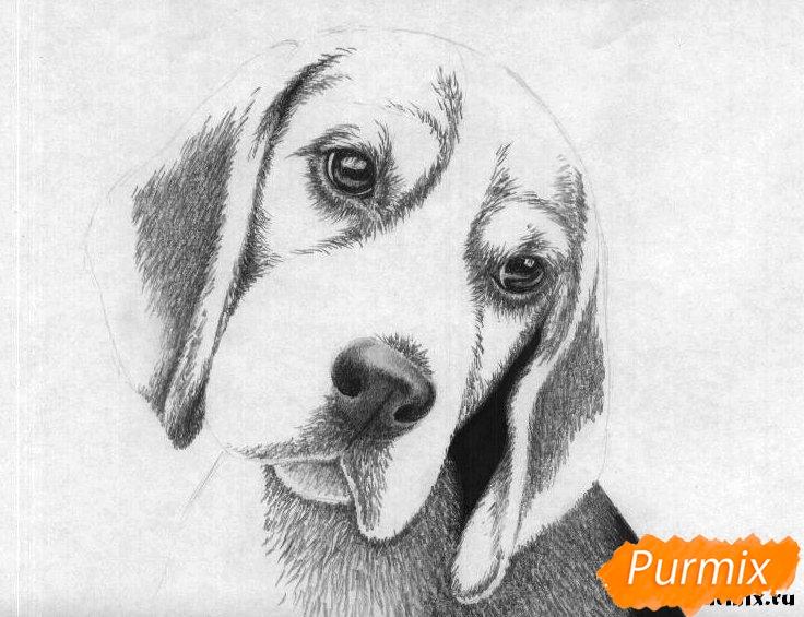 Рисуем собаку породы бигль  и ручкой - шаг 3