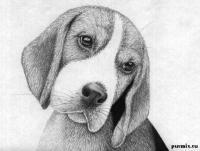 Рисунок собаку породы бигль