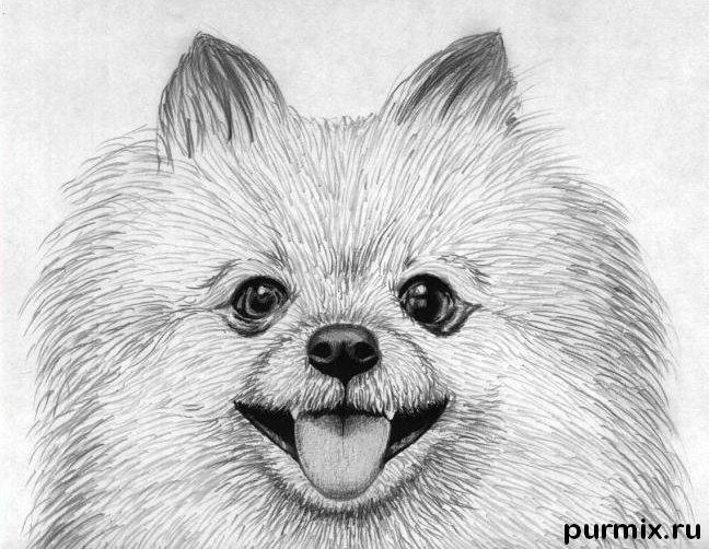 Как нарисовать собаку породы померанский шпиц карандашом