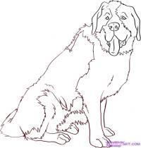 собаку Сенбернара карандашом
