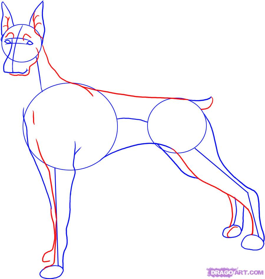 Рисуем собаку породы доберман - шаг 3