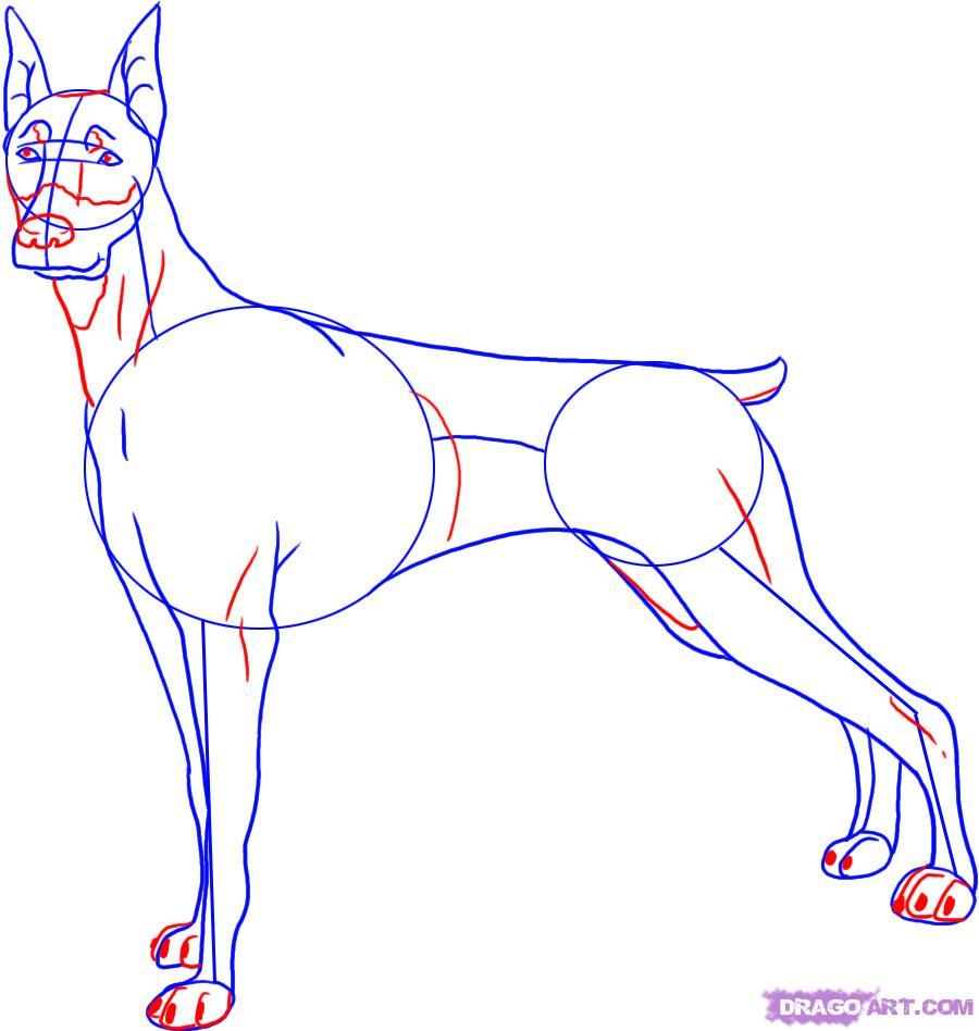 Рисуем собаку породы доберман - шаг 4