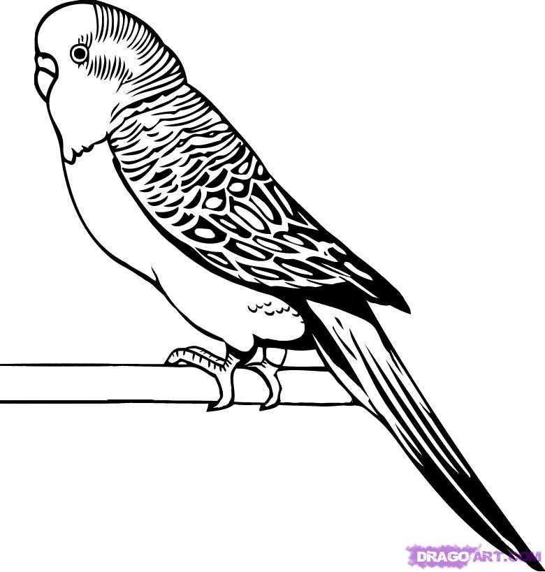 рисунки попугаев волнистый