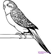 волнистого попугая карандашом