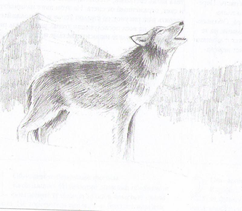 Рисуем воющего волка - шаг 5