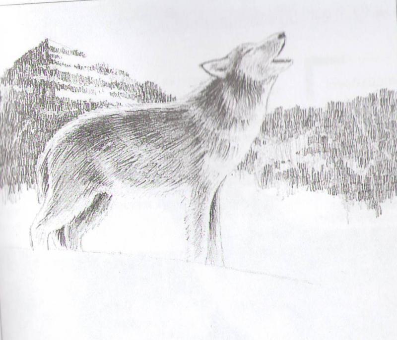Рисуем воющего волка - шаг 6