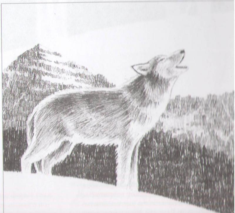Рисуем воющего волка - шаг 8