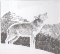Фото воющего волка карандашом