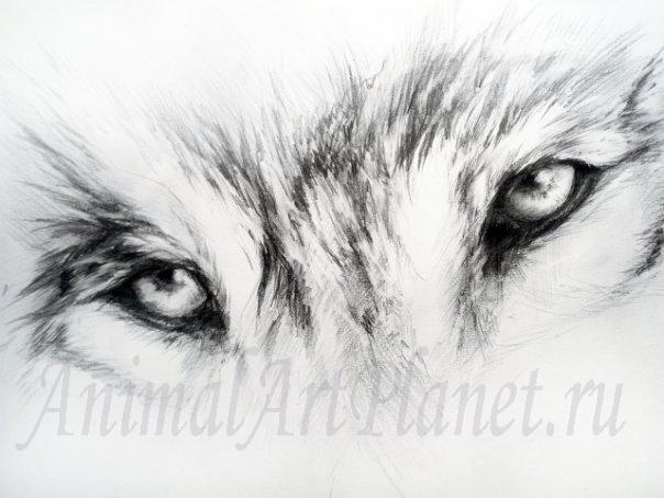 Рисунки волков карандашом поэтапно
