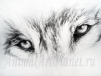 взгляд волка простым карандашом