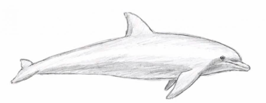 Рисуем дельфина  для начинающих - шаг 5