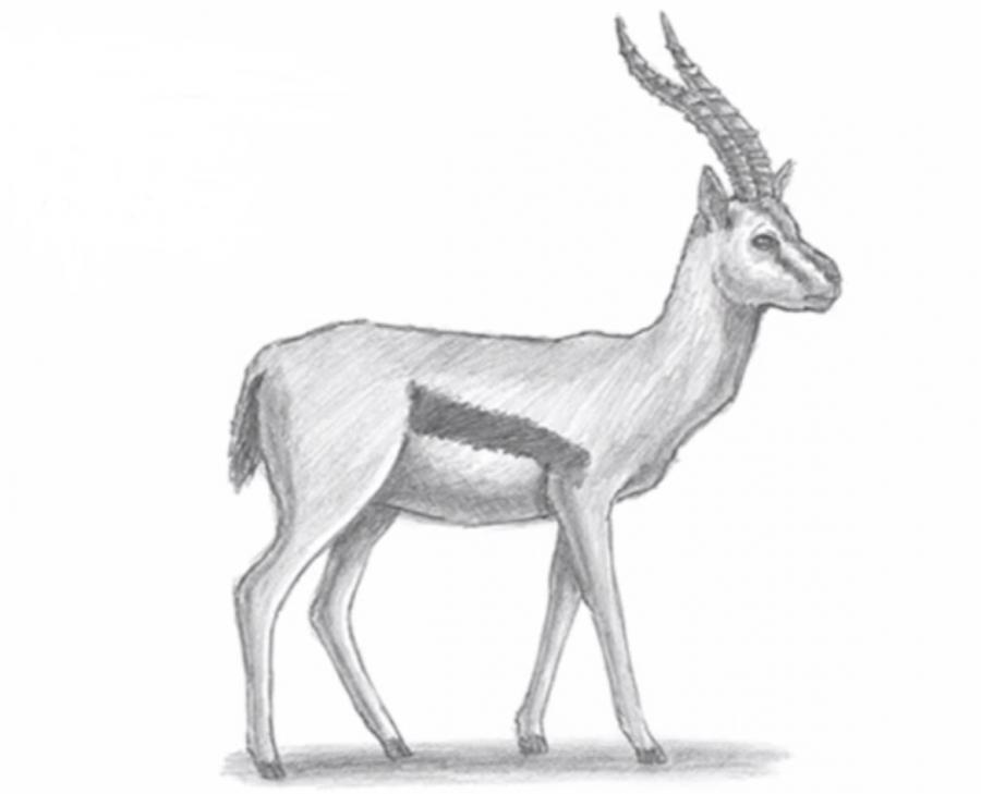 Как животное газель в полный рост - шаг 6