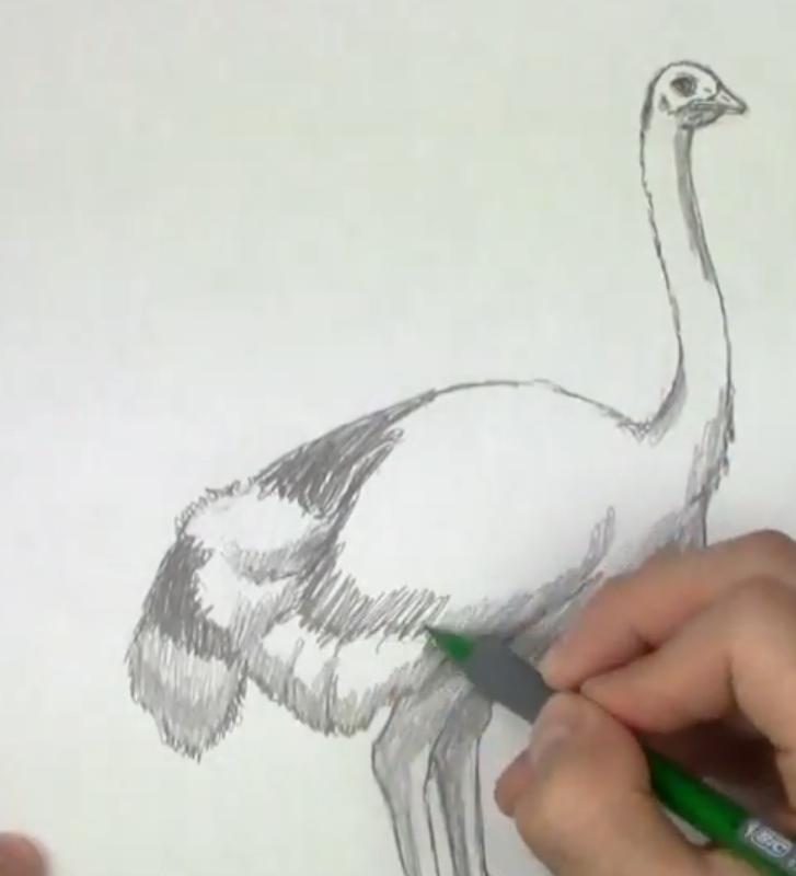 Как научиться рисовать страуса простым карандашом поэтапно