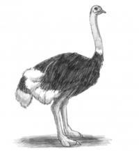 Как научиться рисовать страуса простым карандашом