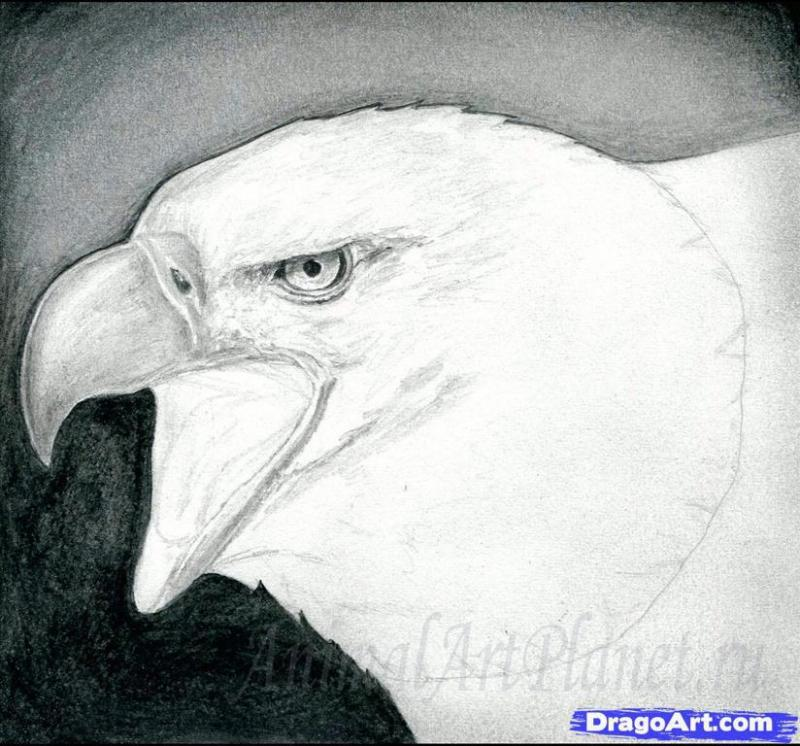 Как правильно нарисовать белоголового орлана карандашом