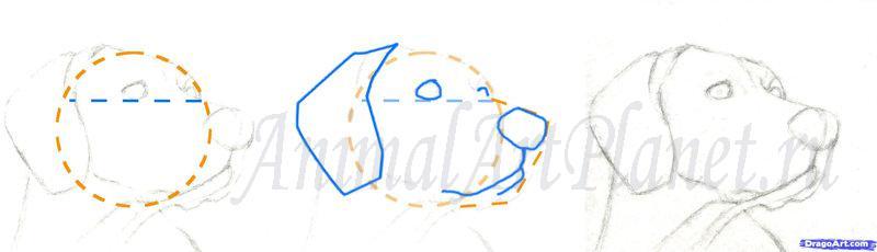 Как правильно нарисовать голову, морду собаки - шаг 1