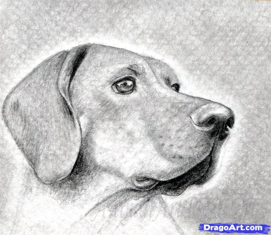 Как правильно нарисовать голову, морду собаки - шаг 10
