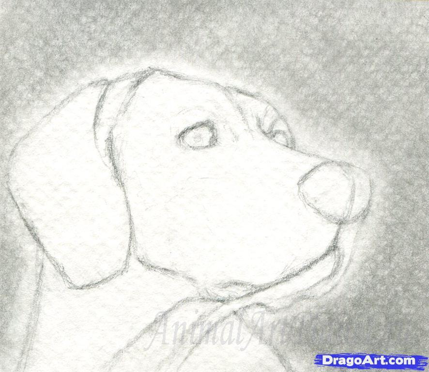 Как правильно нарисовать голову, морду собаки - шаг 2