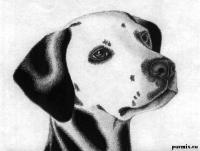 Как рисовать голову далматинца карандашом поэтапно