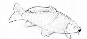 Как рисовать рыбу сазан