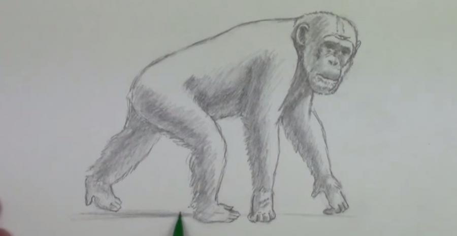 Учимся рисовать шимпанзе простым  шаг за шагом