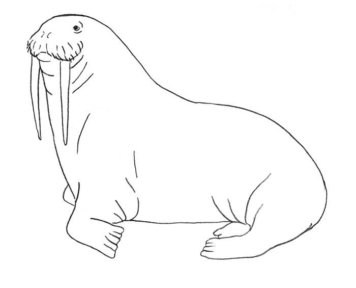 Учимся рисовать Моржа