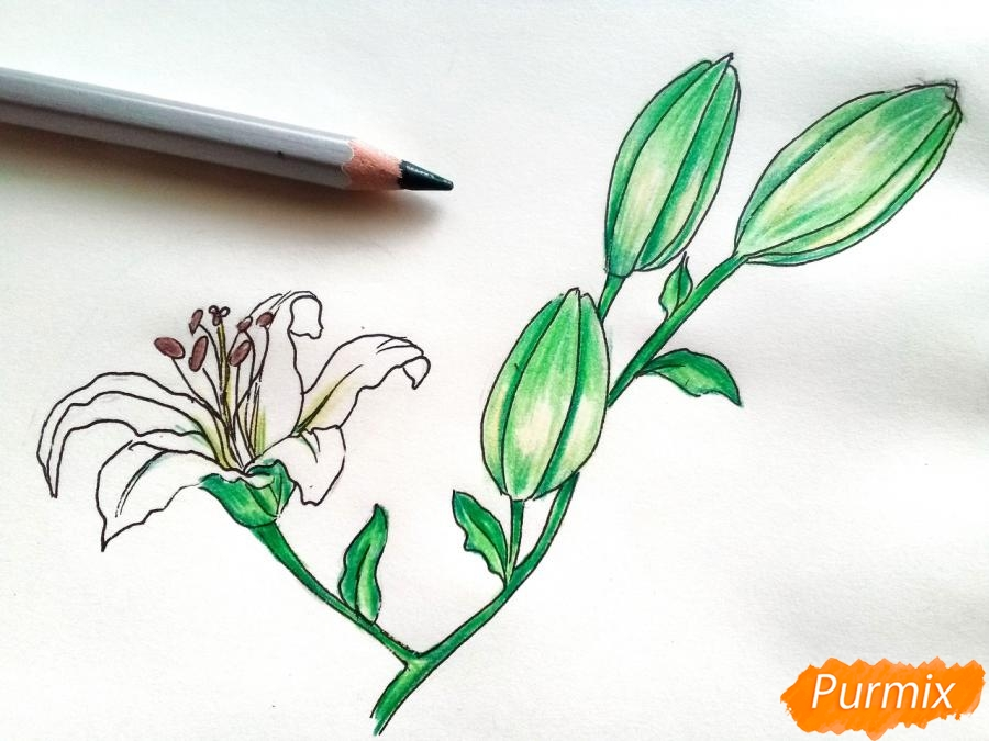 Рисуем белую лилию - фото 8