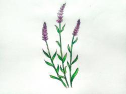 цветы люпины