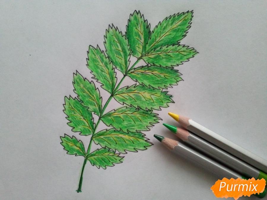 Рисуем лист рябины карандашами - фото 4