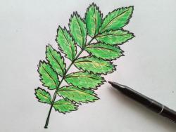 лист рябины карандашом