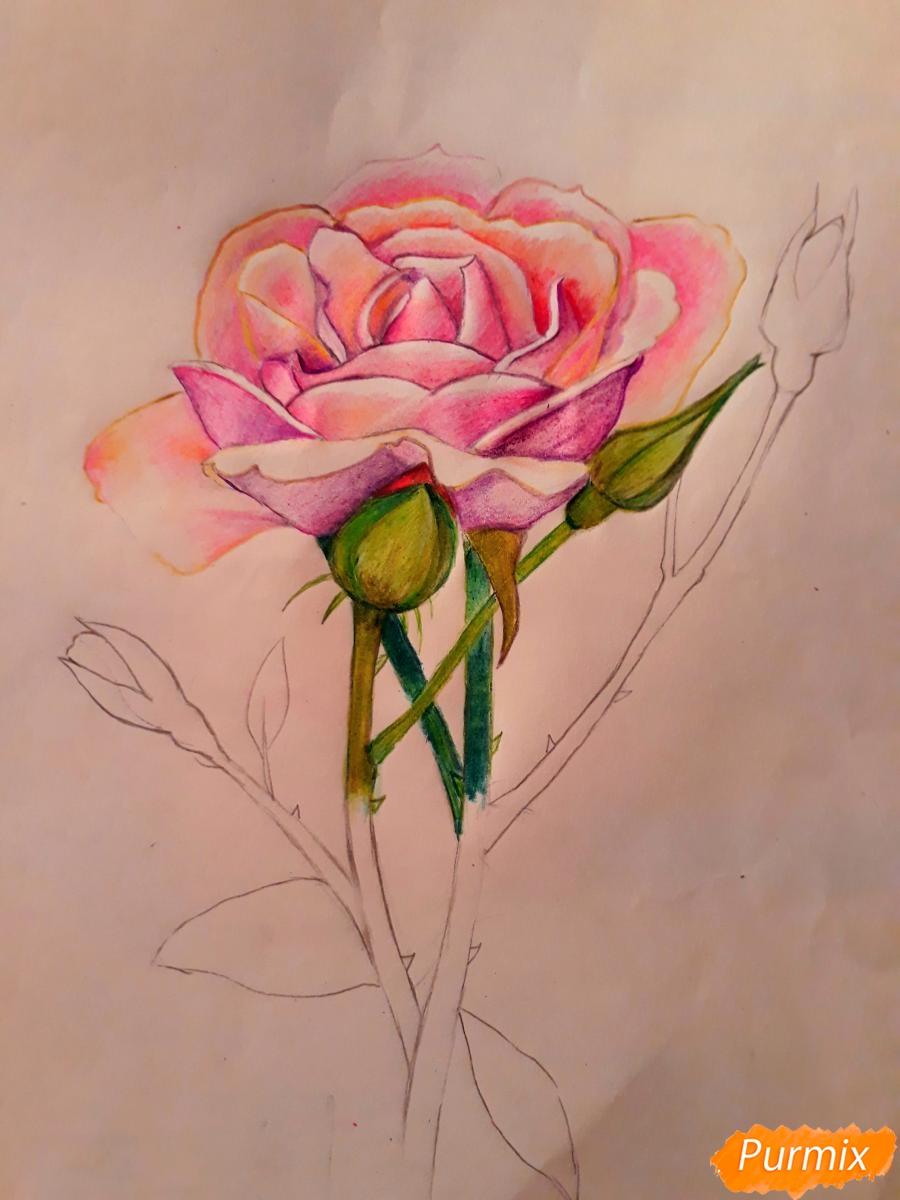 Рисуем розу цветными карандашами - фото 13