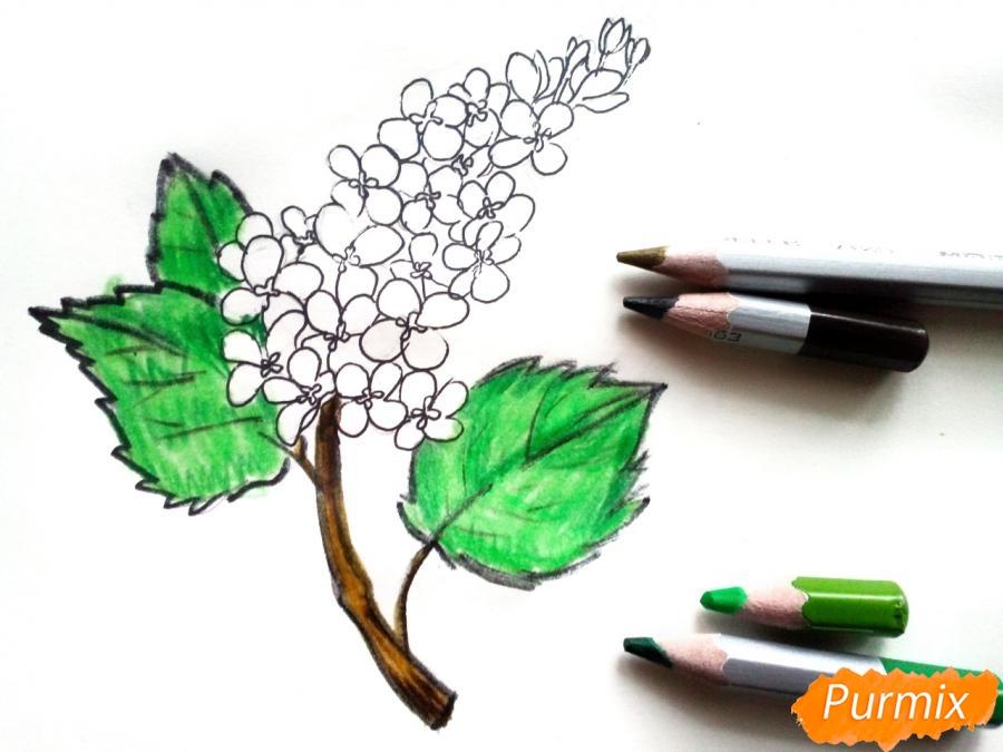 Рисуем сирень карандашами - шаг 6