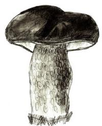 белый гриб на бумаге карандашом