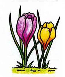 Как нарисовать цветок крокус карандашом поэтапно