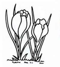 Рисунок цветок крокус