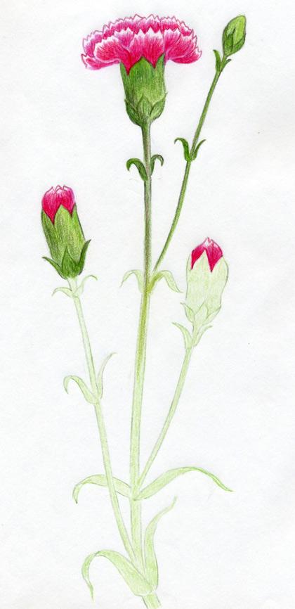 Рисуем гвоздику - фото 9