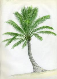 Как нарисовать кокосовую пальму карандашом поэтапно