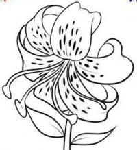 Фото лилию на бумаге карандашом