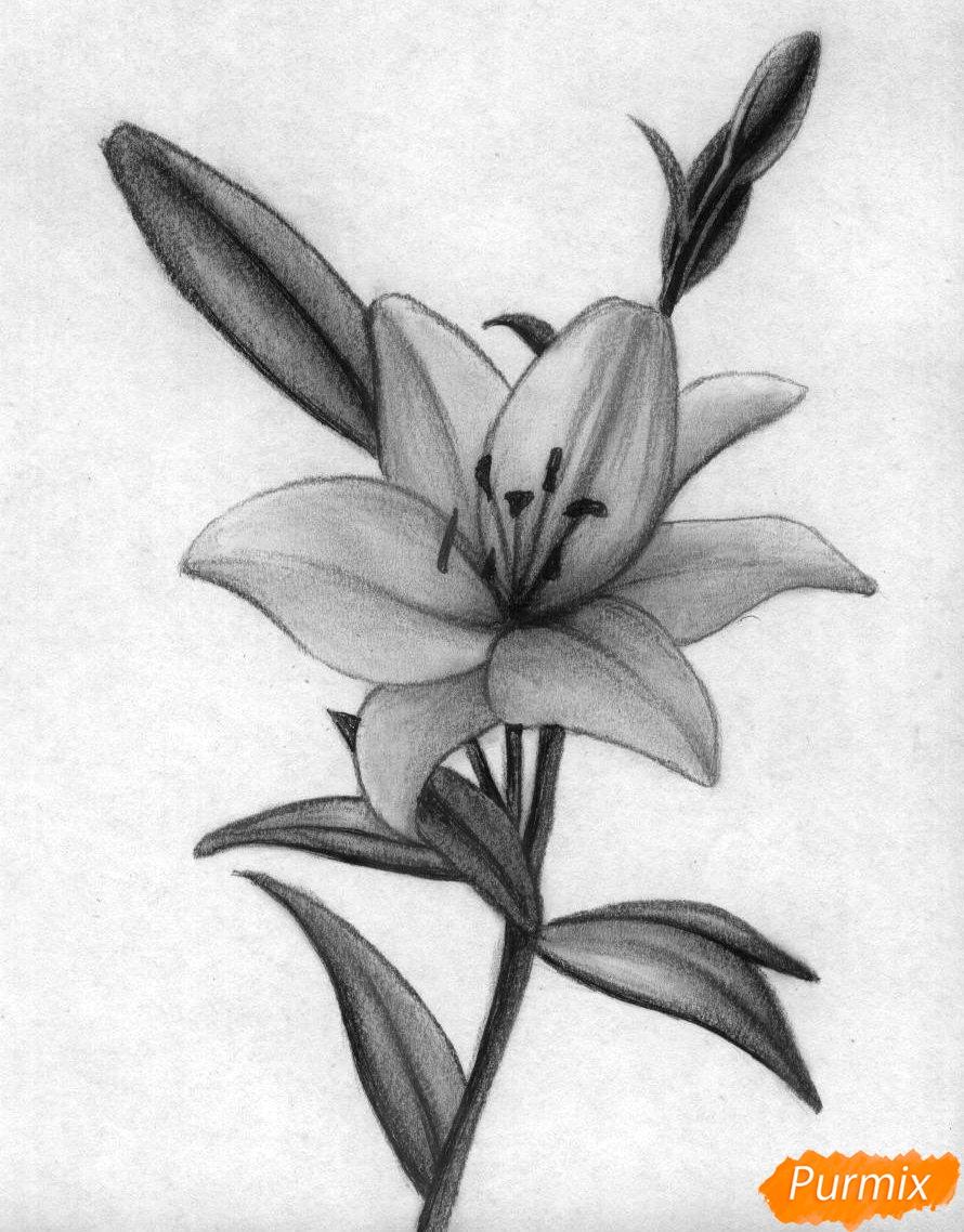 Нарисовать лилию карандашом поэтапно