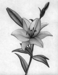 Рисунок лилию . 6 уроков