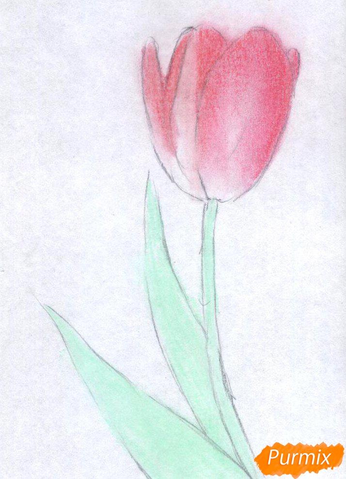 Как нарисовать тюльпан цветные карандаши поэтапно - шаг 2