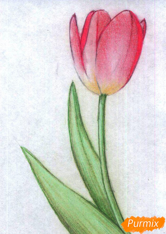 Рисуем тюльпан карандаши - шаг 3
