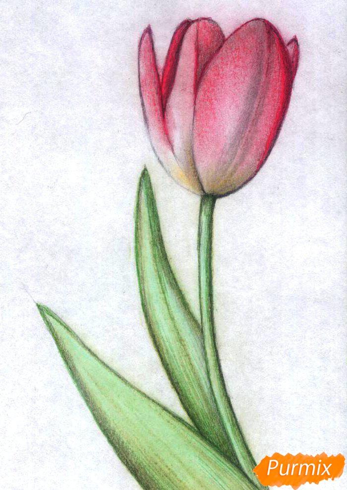 Как нарисовать тюльпан карандаши поэтапно