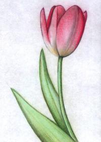 Как нарисовать тюльпан цветные карандаши поэтапно